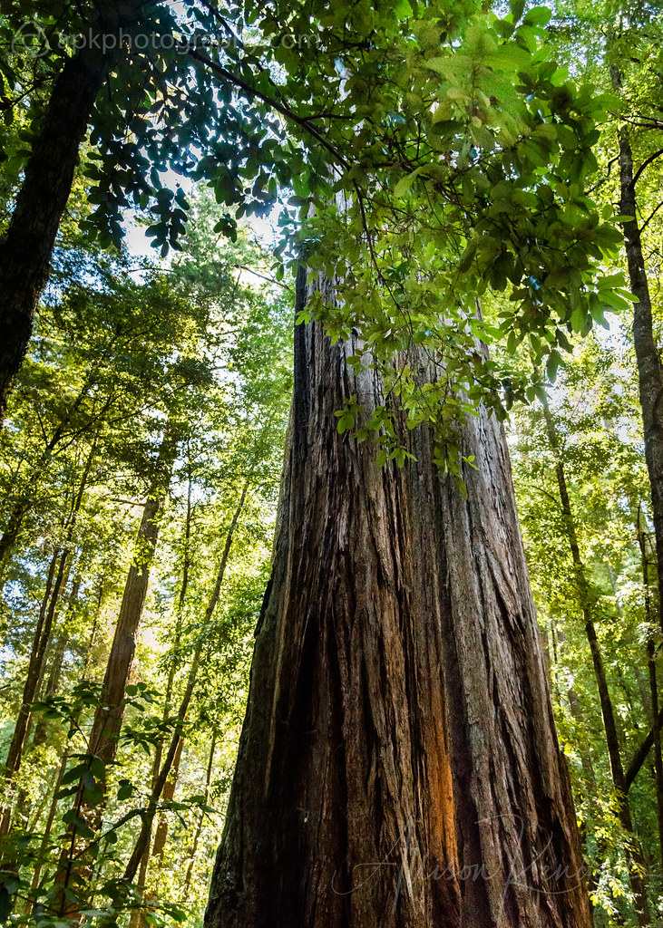 Redwood forest morning, California