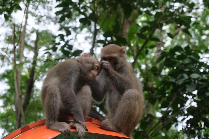 獼猴社交:互相理毛。劉羽芯攝。