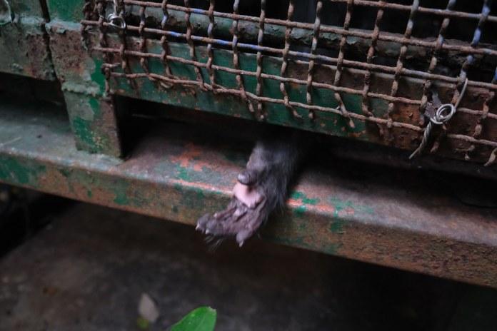鐵籠裡的獼猴。劉羽芯攝。