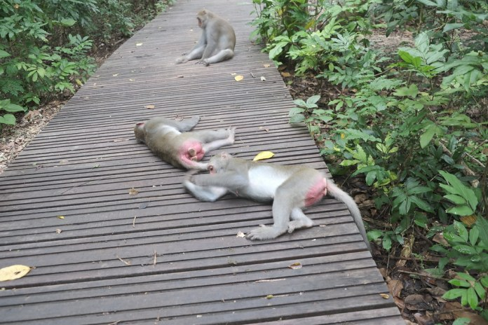 壽山上失去對人類的戒心,躺在步道上的獼猴們。劉羽芯攝。