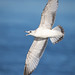 A Flying First Winter Ring-billed Gull With Wings Out Cries Out Its Call