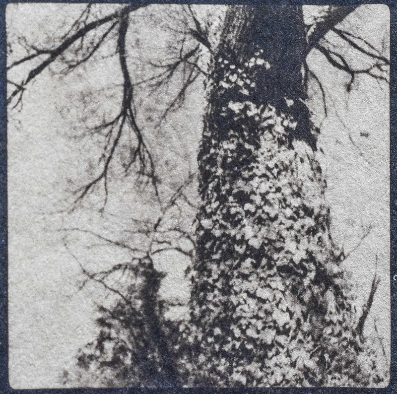 looking up, ivy-covered tree trunk, yard, Asheville, NC, cyanotype (Tea-Toned), natural fiber hot press paper, 6x6 medium format film negative