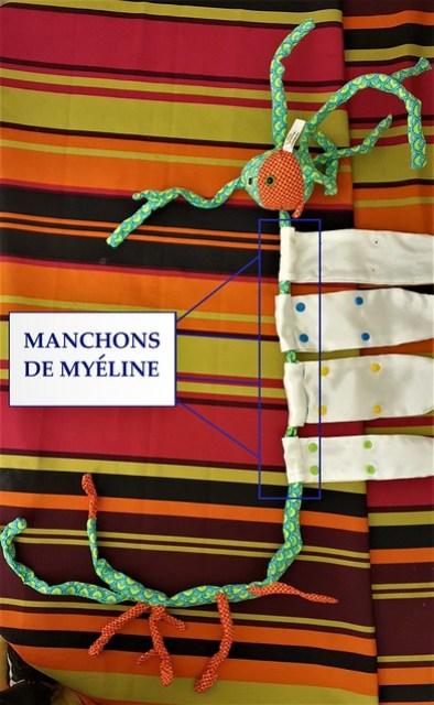 Manchons de myéline