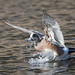 A Male American Wigeon Comes In For A Landing On A Small Pond