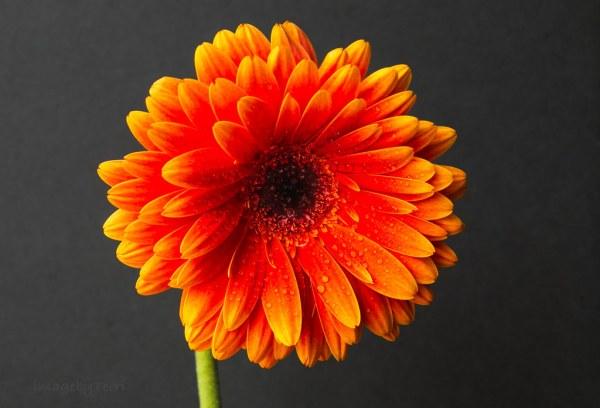 Gerbera Daisy 3