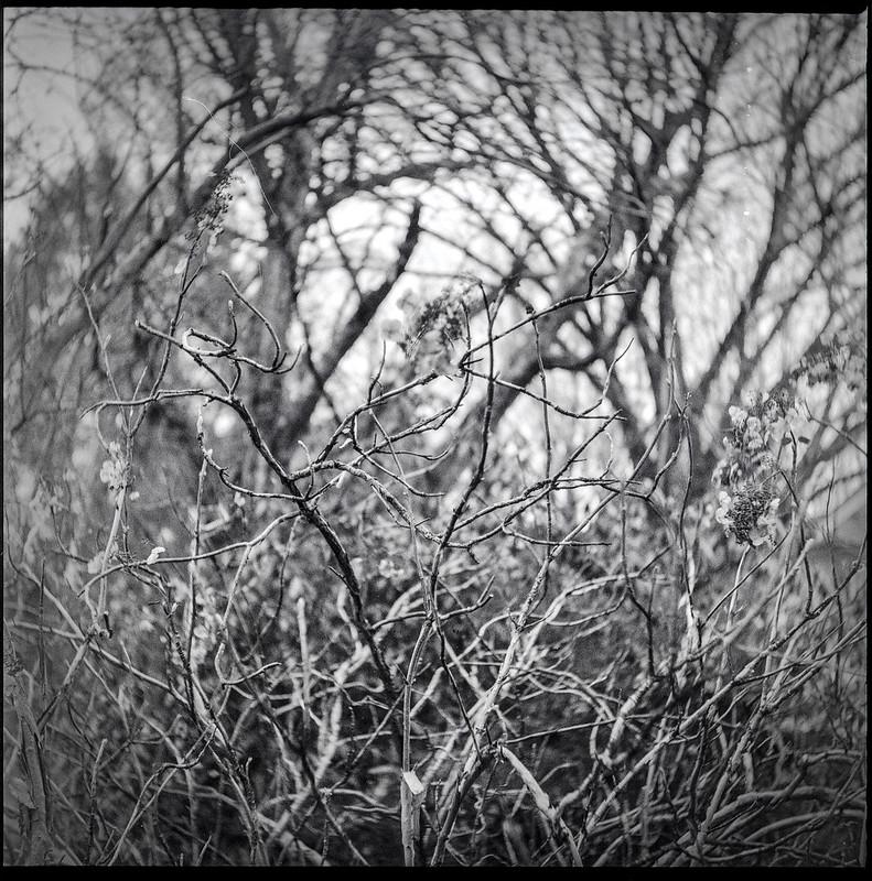 inside a dormant shrub, trees behind, yard, Asheville, NC, Ricohflex Dia M, Fomapan 400, Moearsch Eco film developer, 2.20.21