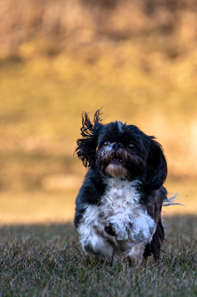 Roxy the Shih Tzu is running along happily.
