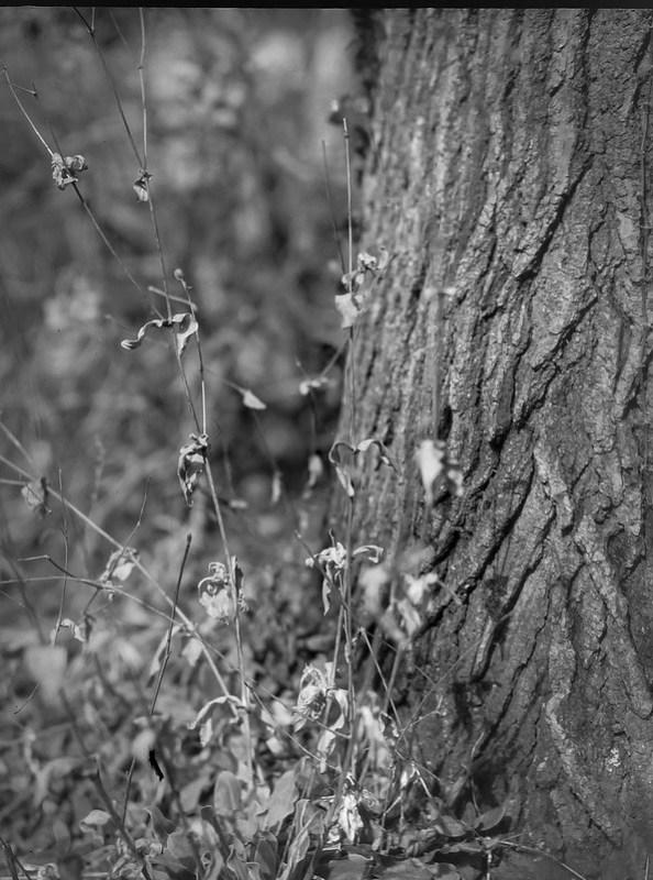 dried plant forms, tree trunk, bark, yard, Asheville, NC, Folmer Graflex Corp. R.B. Series B, Kodak Anastigmat f/4.5 6 3/8 in., 3.25 x 4.25, large format, Adox CHS 100 II, Ilford Ilfosol 3 developer, 3.5.21