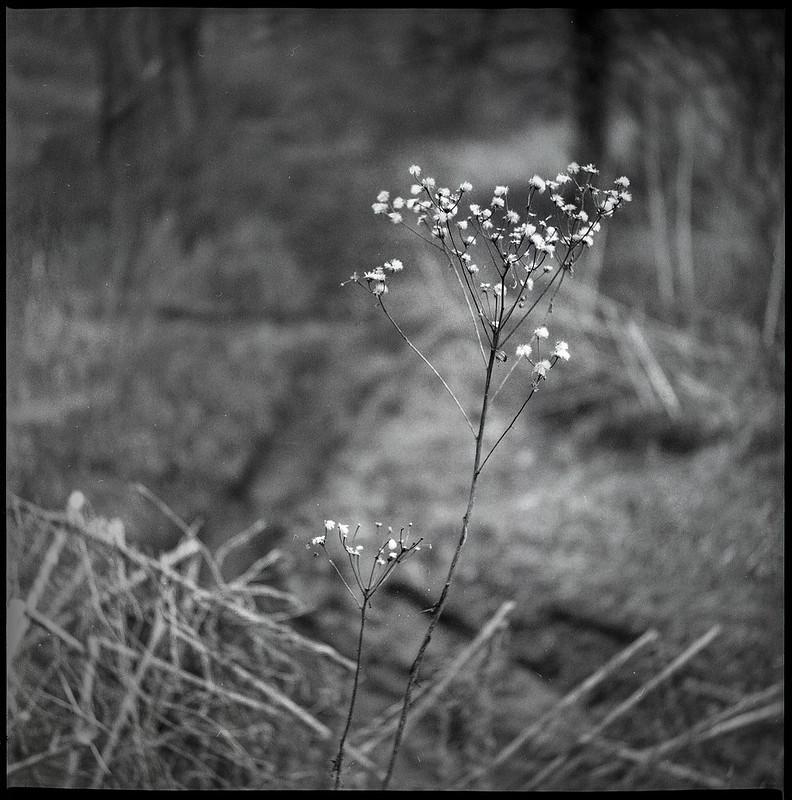 dried wildflowers, winter landscape, Biltmore Estate, Asheville, NC, Yashica D, Fomapan 400, Moersch Eco developer, 2.28.21