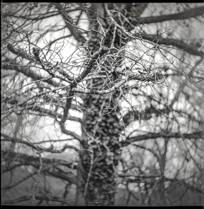 inside an old tree, branches, lichen, ivy, Biltmore Estate, Asheville, NC, Yashica D, Fomapan 400, Moersch Eco developer, 2.28.21