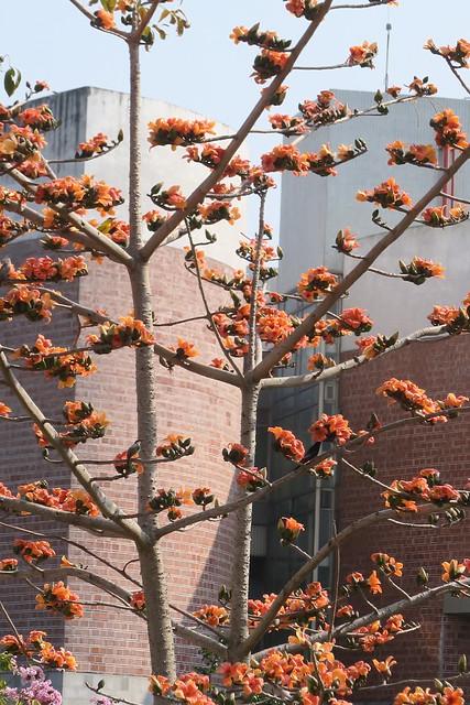 木棉花開,眾鳥春宴:黃鸝、紅嘴黑鵯、栗尾椋鳥