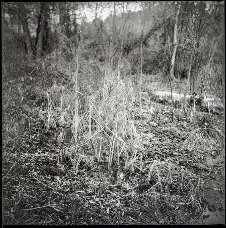dried grasses, verticals, standing water, winter landscape, Biltmore Estate, Asheville, NC, Yashica D, Fomapan 400, Moersch Eco developer, 2.28.21 (1 of 1)
