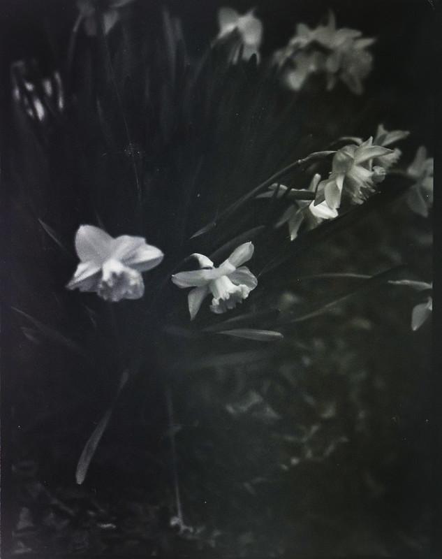 early spring blossoms, yard, Asheville, NC, Folmer Graflex Corp. R.B. Series B, Kodak Anastigmat f-4.5, Adox CHS 100 II, Ilfosol 3 developer, 3.12.21