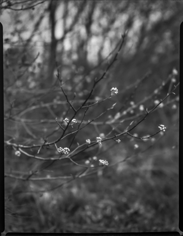 tree blossoms, early spring, Riverside Drive, Asheville, NC, Folmer Graflex Corp. R.B. Series B, Kodak Anastigmat f-4.5, Adox CHS 100 II, Ilfosol 3 developer, 3.16.21