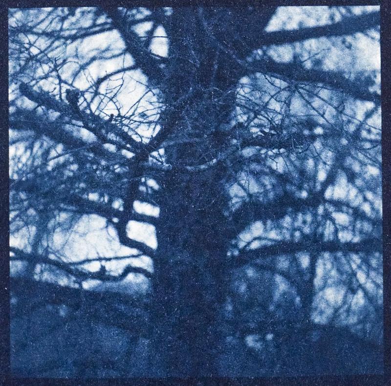Cyanotype Version 1, inside an old tree, branches, lichen, backlit, Biltmore Estate, Asheville, NC, Yashica D, Fomapan 400, Moersch Eco developer, printed from 6x6 negative 3.21.21