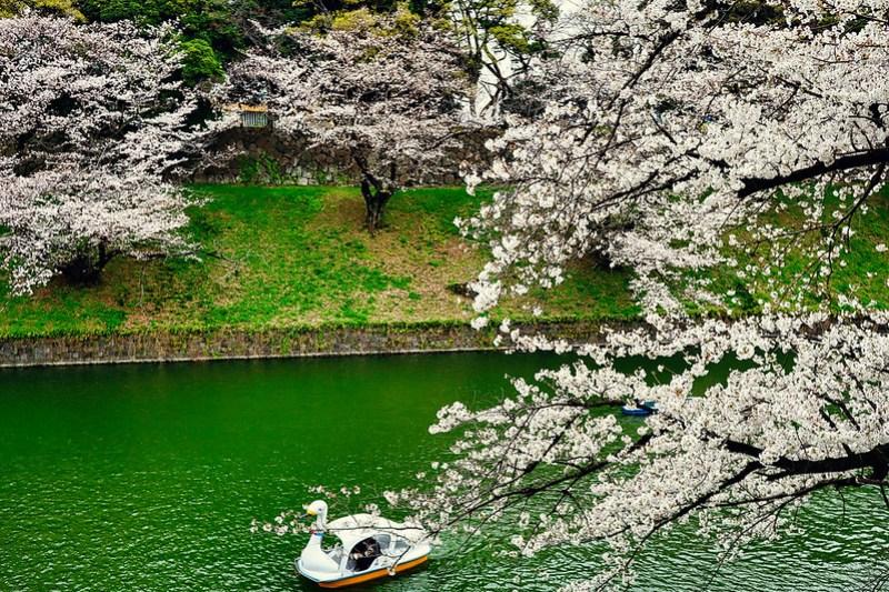Chidorigafuchi Sakura 2021 10