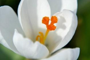 Krokus-Blüte im Detail