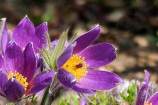 Blüte der Küchenschelle
