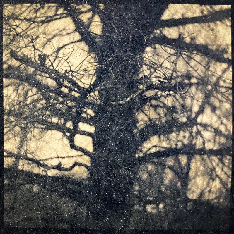 Cyanotype Version 2, Coffee-Toned, inside an old tree, branches, lichen, backlit, Biltmore Estate, Asheville, NC, Yashica D, Fomapan 400, Moersch Eco developer, printed from 6x6 negative 3.21.21