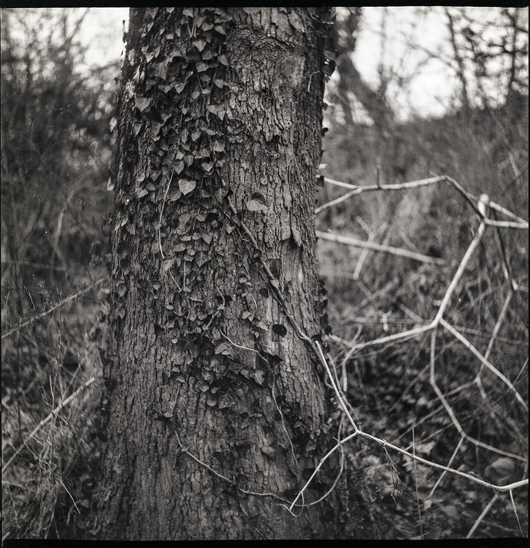 ivy-covered tree trunk, twisted and dried plant forms, Hominy Creek RIver Park, Asheville, NC, Yashica D, Fomapan 200, Ilford Ilfosol 3 developer, 3.22.21