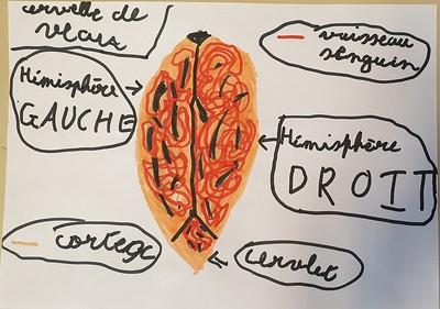 Dessin d'après observation d'une cerveau de veau disséquée en atelier, dans les temps périscolaires avec les Savanturiers et la Mairie de Paris.