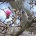 Titmouse Magnolia