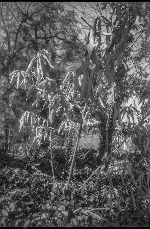 up an embankment, dried leaves, ivy, tree forms, Asheville, NC, Minolta XG-M, Minolta MD 50mm f-2, Fomapan 400, HC-110, Ilfosol 3 developer, late March 2021 (1 of 1)