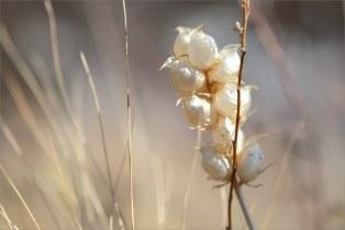 Берег озера Банное, прошлогодняя трава. Если не ошибаюсь, это Погремок малый.  + Marumi DHG Achromat Macro 330 (+3)