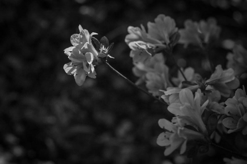 pink azalea blossoms, yard, Asheville, NC, Nikon D3300, nikon nikkor 50mm f-3.5, 4.11.21