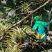 Resplendent Quetzal I