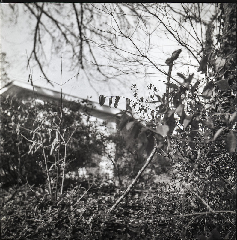 up an enbankment, early spring plant growth, roofline, overhanging branches, front yard, Asheville, NC, Yashica D, Fomapan 200, Ilford Ilfosol 3 developer, 3.22.21