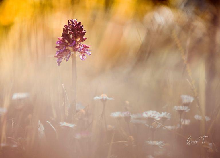 Orchidée Neotinea tridentata (sur explorer)