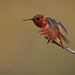 A Male Allen's Hummingbird Stretches Wing And Tail Feathers While Perched