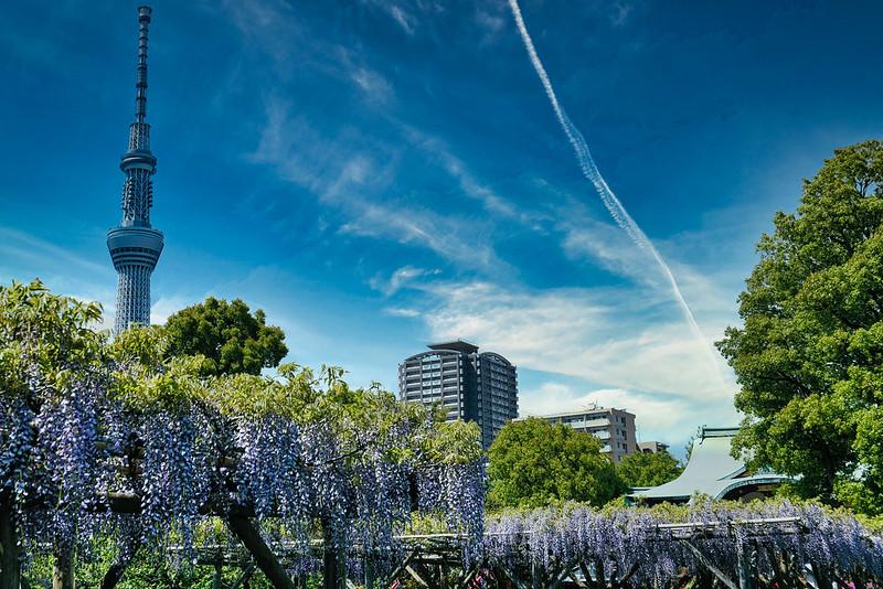 Kameido Tenjin Shrine Wisteria 2021-22