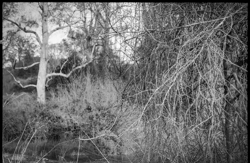 thicket, bare tree, wetland, early spring, Biltmore Estate, Asheville, NC, Konica Autoreflex T, Hexanon 57mm 1.4, Foma 200, Ilfosol 3 developer, 4.17.21