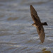 Northern Rough-winged Swallow Flying With Wings Fully Extented Over A Choppy Waterway