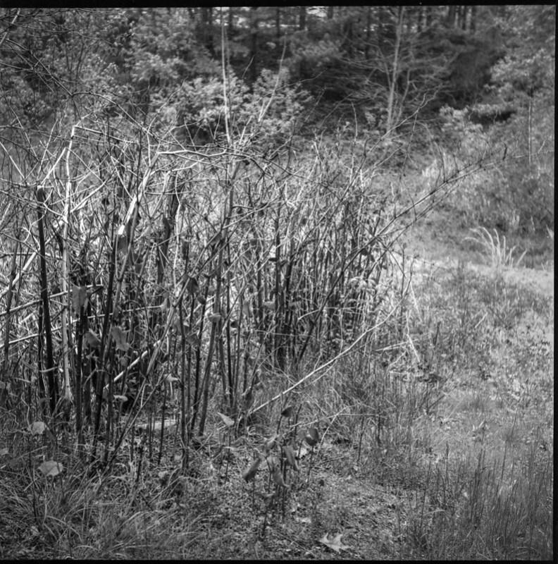 stand of verticals, wild plant growth, abandoned land behind Sam's, Asheville, NC, Ricohflex Dia M, Fomapan 200, Ilfosol 3 developer, 4.24.21
