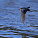 A Flying Barn Swallow Displays Fine Wing Feather Detail