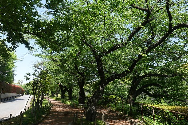after Sakura season at Chidorigafuchi 11