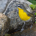 Male Yellow-breasted Chat Perched On Rocks Around A Small Pond