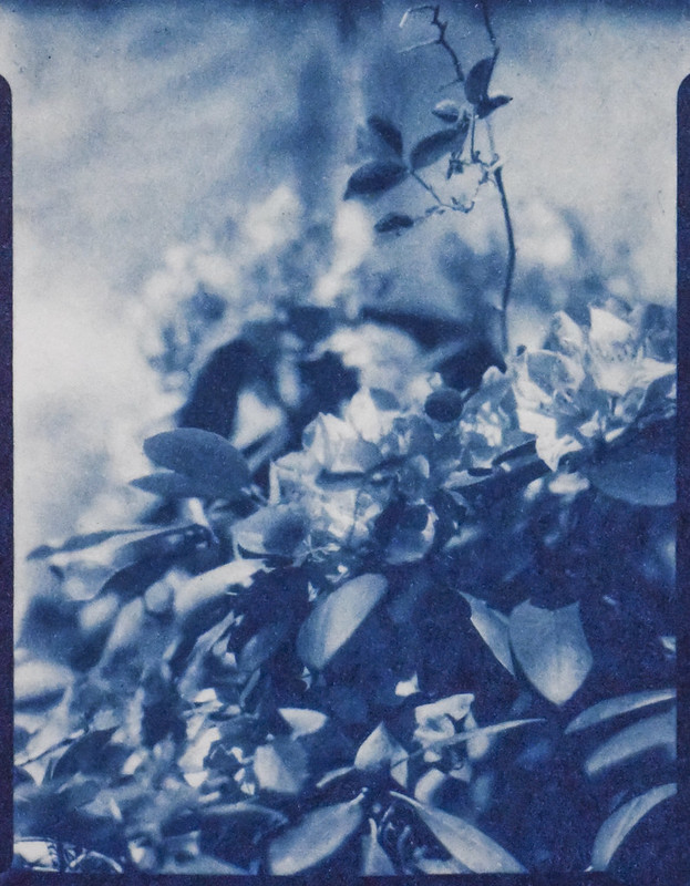 cyanotype version, blossoms, rhododendron, Asheville, NC, Folmer Graflex R.B. Series B, Kodak Anastigmat f-4.5, Adox CHS 100 II, Ilfosol 3 developer, 5.7.21