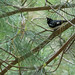 """Black-Throated Blue Warbler 3"""
