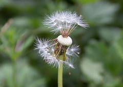 Fairy Clock seeds gone cu