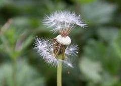 Fairy Clock seeds gone cu