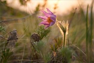 Берег озера Банное, весна, утро.  Сон-трава здесь уже отцвела, но за камнями, с северной стороны, еще можно найти редкие цветки (кто ищет, тот всегда найдёт :)  + Marumi DHG Achromat Macro 330 (+3)