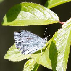 Little blue moth