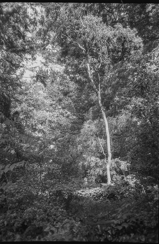 looking up, corkscrew will tree, front yard, Asheville, NC, Nikon L35AF2 (One Touch), Arista.Edu 200, Ilfosol 3 developer, Early May, 2021