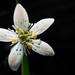 Goldthread flower