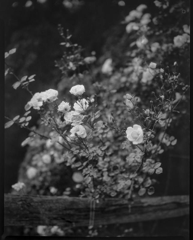 roses, split rail fence, Blue Ridge Avenue, Asheville, NC, Folmer Graflex R.B. Series B, 3.25 x 4.25 large format sheet film camera; Kodak Anastigmat f-4.5, 6.6.21