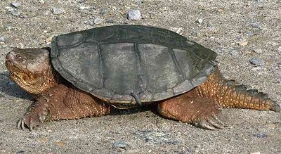 Common-Snapping-Turtle-Chelydra-serpentina